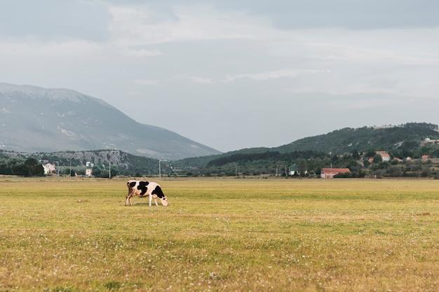 Vache noire et blanche paissant sur le terrain