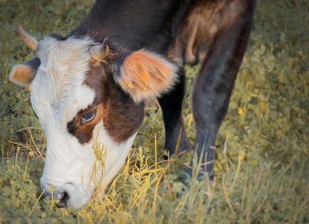 Vache paissant dans les champs