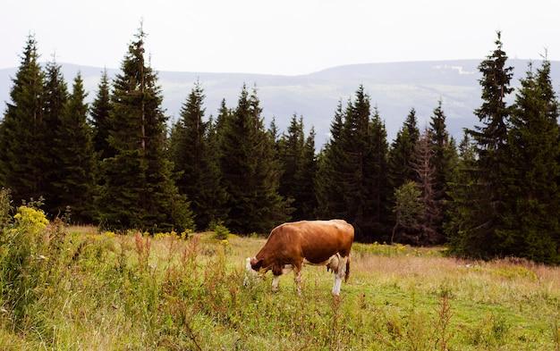 Une vache paissant dans une région montagneuse
