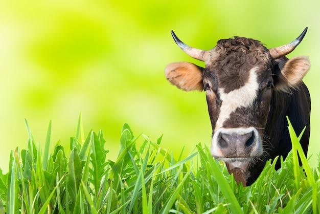 Vache paissant sur le terrain de la ferme avec de l'herbe verte et un fond doux