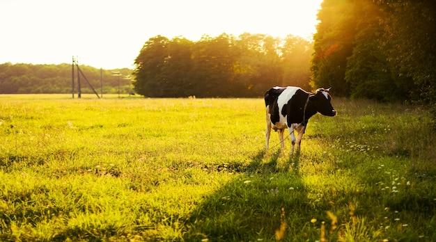 Vache pâturage dans la prairie