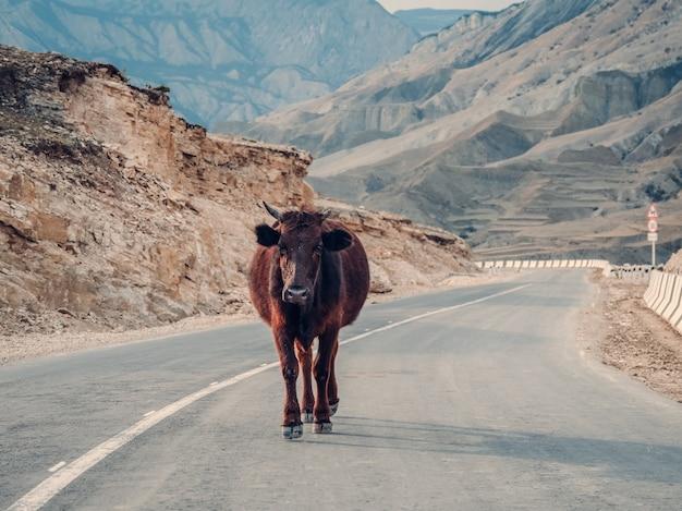Une vache sur une route de montagne.