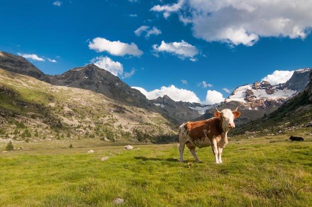 Vache solitaire paissant sur les alpes italiennes