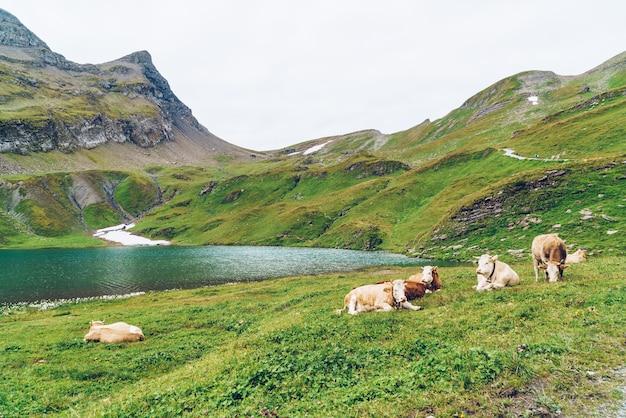 Vache en suisse alpes montagne grindelwald first