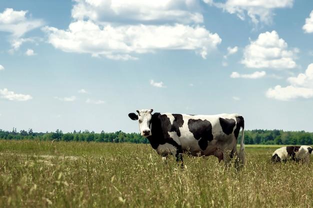 Vache tachetée paissant sur un beau pré vert avec un ciel bleu.