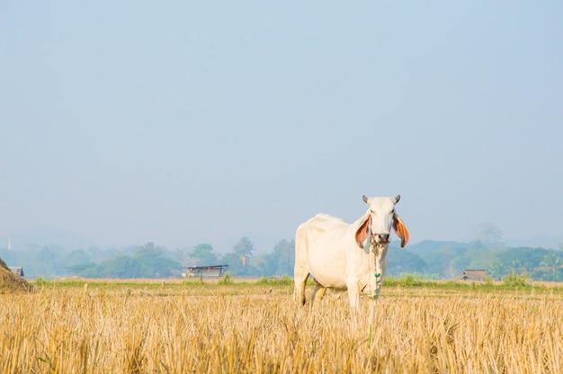 Vache thaïlandaise debout dans la prairie