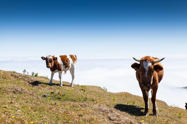 Vache et veau pâturage dans les montagnes madère