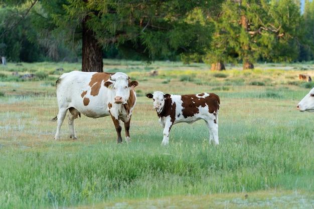 Une vache et un veau se tiennent sur la pelouse à côté de la forêt