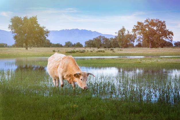 Vache à viande paissant dans les pâturages