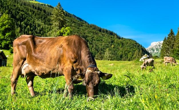 Vaches au pâturage dans les alpes suisses