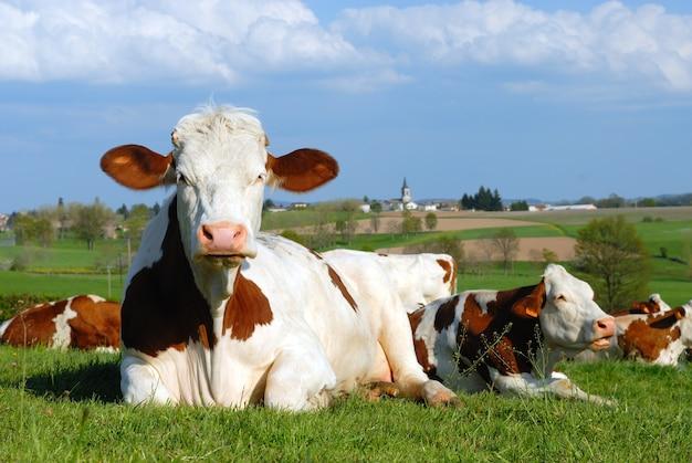 Vaches au pâturage devant un village français