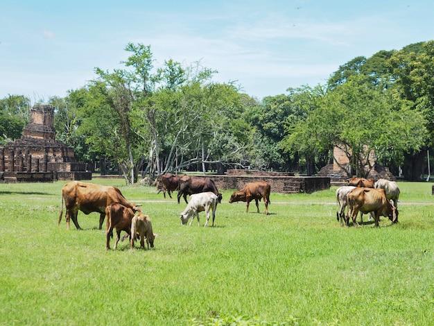 Vaches blanches et brunes mangeant de l'herbe dans le champ