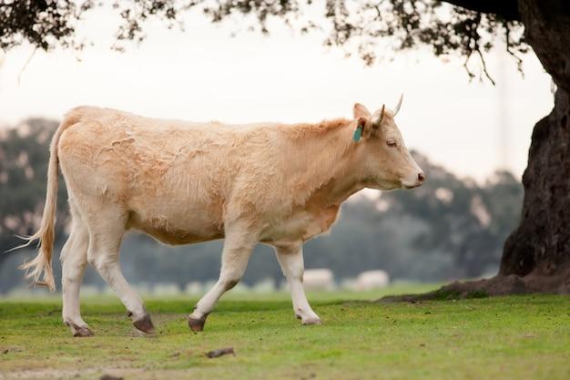Vaches de boeuf broutant dans les alpages d'estrémadure