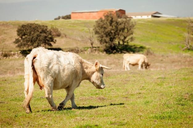 Vaches de boeuf broutant dans les pâturages