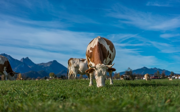 Des vaches en bonne santé