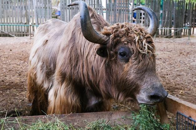 Les vaches, les bovins mangent du foin dans le paddock de la ferme. taureaux de podolsk