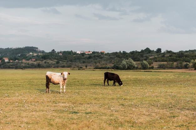 Vaches broutant dans le champ d'une campagne