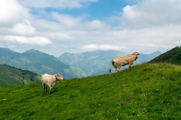 Vaches broutant dans les pâturages des alpes