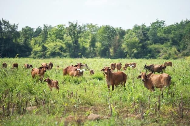 Vaches broutant dans le pré