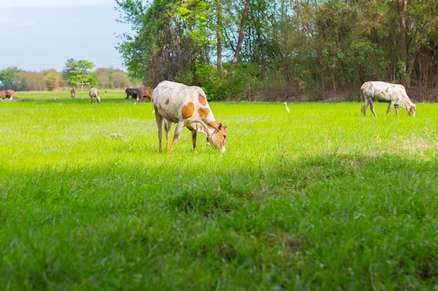 Vaches broutant à la ferme avec un champ vert par beau temps