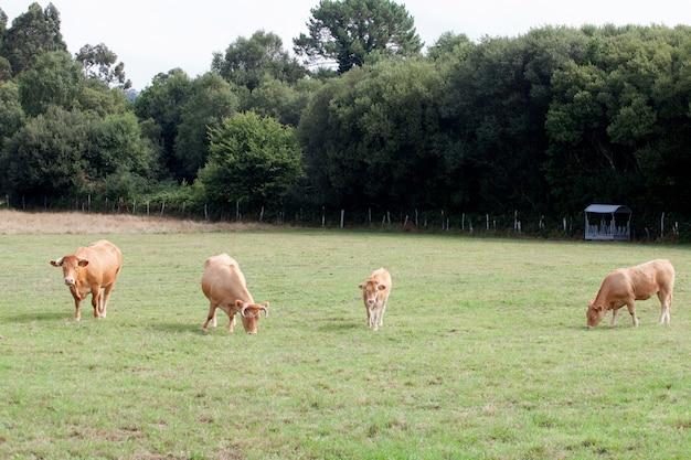 Vaches brunes paissant