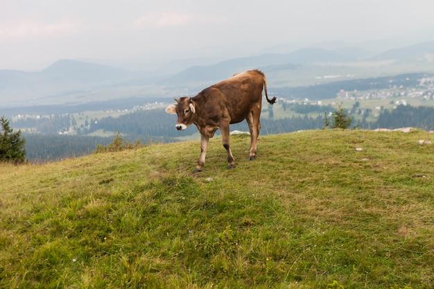 Des vaches brunes paissent dans une haute prairie de la vallée. jeune taureau dans le pré de montagne dans le parc national de durmitor, au monténégro.