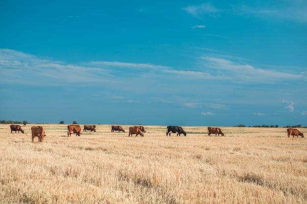 Vaches sur un champ jaune et ciel bleu.