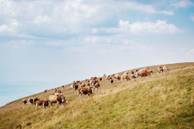 Vaches sur un champ vert et ciel bleu.