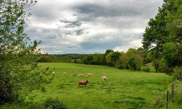 Des vaches et un ciel nuageux menaçant. des nuages menaçants au-dessus du paysage