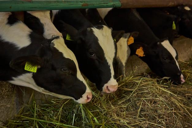 Vaches dans l'étable à l'intérieur de la clôture pour la production de viande