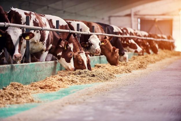Vaches dans une ferme. vaches laitières dans une ferme.