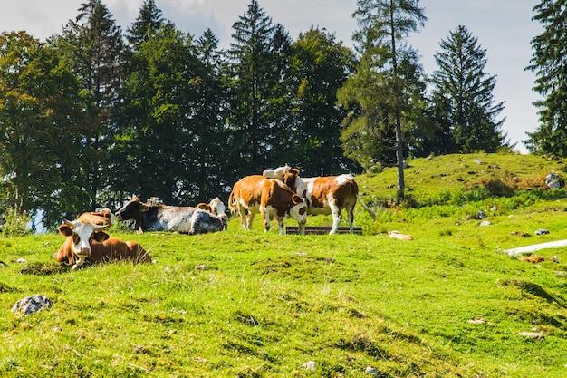 Vaches dans les prés verts des alpes