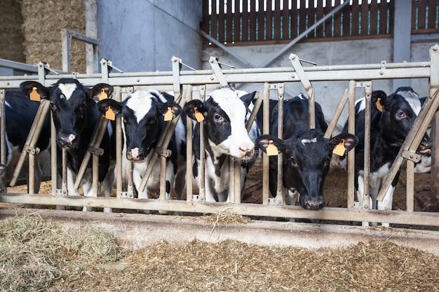 Vaches dans la stalle
