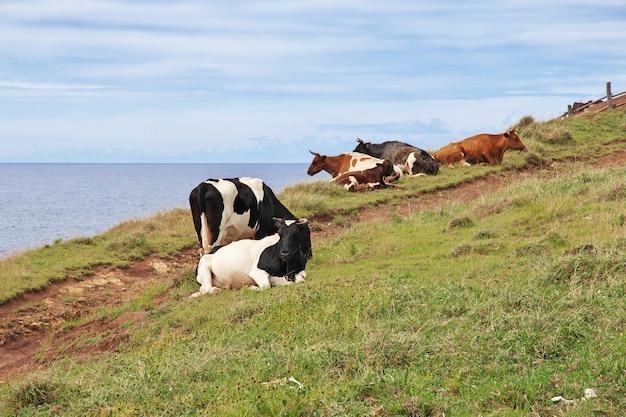 Vaches dans le volcan rano kau rapa nui île de pâques du chili