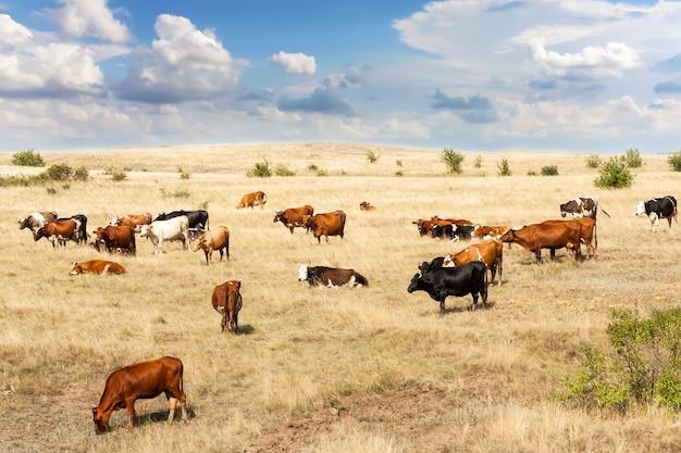 Des vaches de différentes races paissent dans le champ avec de l'herbe sèche jaune.