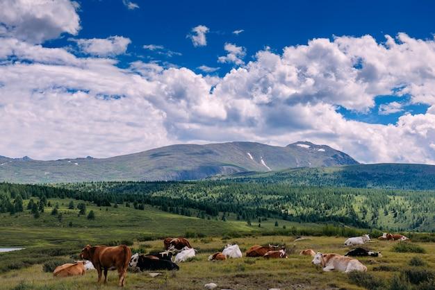 Vaches sur l'herbe dans la forêt avec des montagnes et le beau ciel.