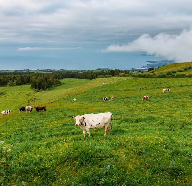 Vaches de l'île de san miguel. açores le portugal. les vaches sont couchées sur l'herbe verte. au loin, vous pouvez voir le rivage de l'océan atlantique.