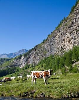 Vaches italiennes au cours d'une journée ensoleillée près de suse, piémont, alpes italiennes