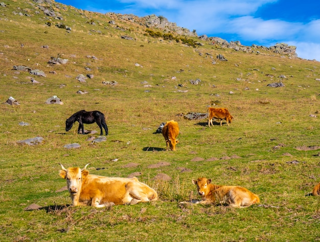Vaches libres se reposant dans l'herbe au-dessus du mont adarra à guipuzcoa. pays basque