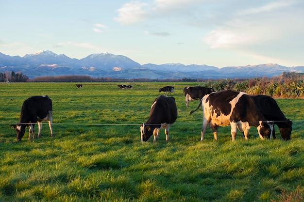 Vaches mangeant de l'herbe dans le champ