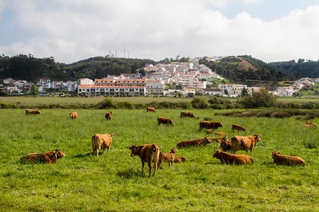 Vaches mangeant de l'herbe sur odeceixe