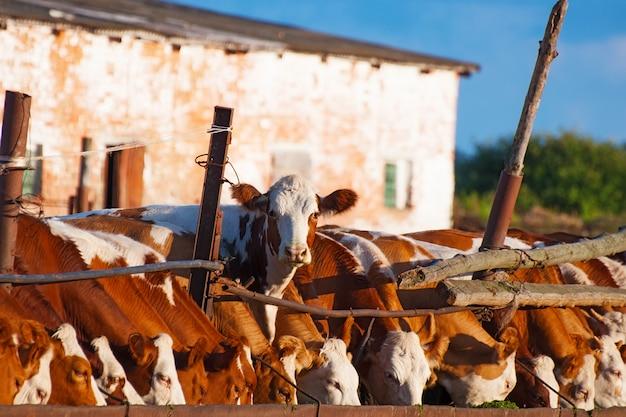 Les vaches mangent de l'ensilage