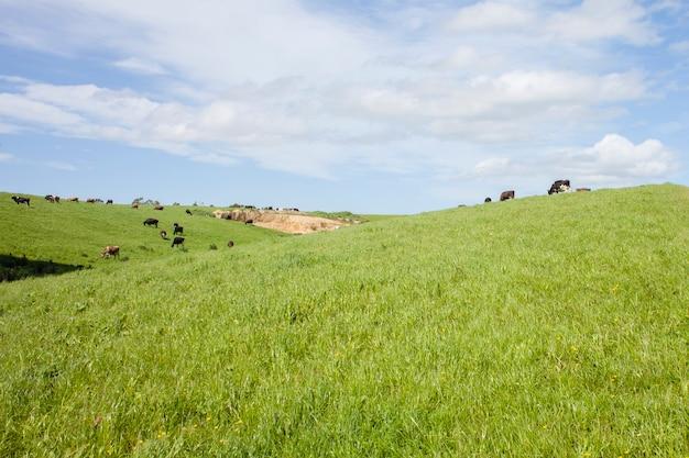 Les vaches mangent de l'herbe sur un champ vert