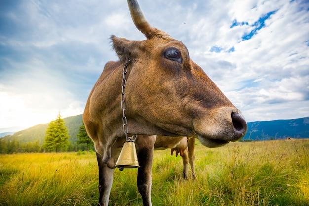 Les vaches paissent sur les collines