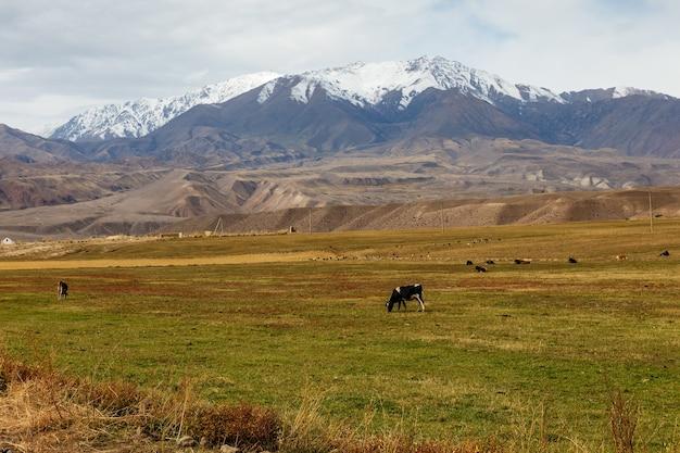 Des vaches paissent dans un pâturage près des montagnes au kirghizistan.