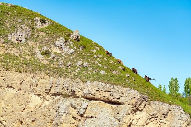 Les vaches paissent sur une pente raide de montagne
