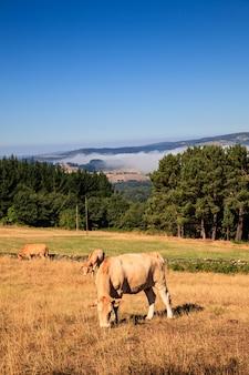 Vaches, pâturage, espagne