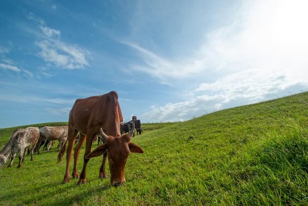 Vaches qui paissent sur un champ d'herbe luxuriante