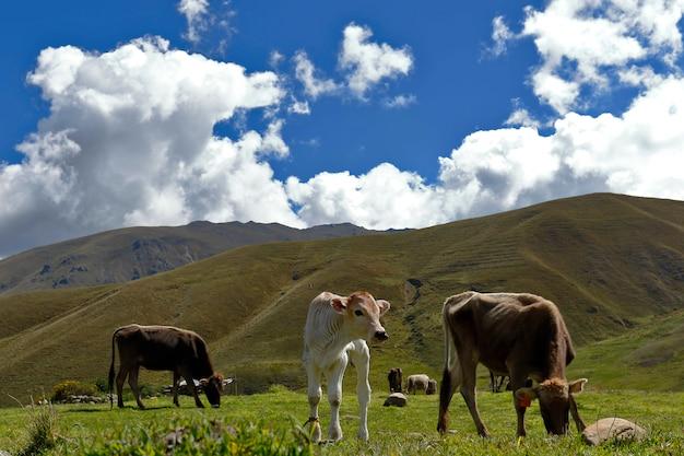 Vaches qui paissent dans les andes