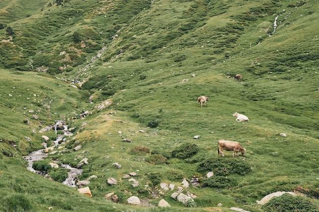 Vaches qui paissent dans les montagnes